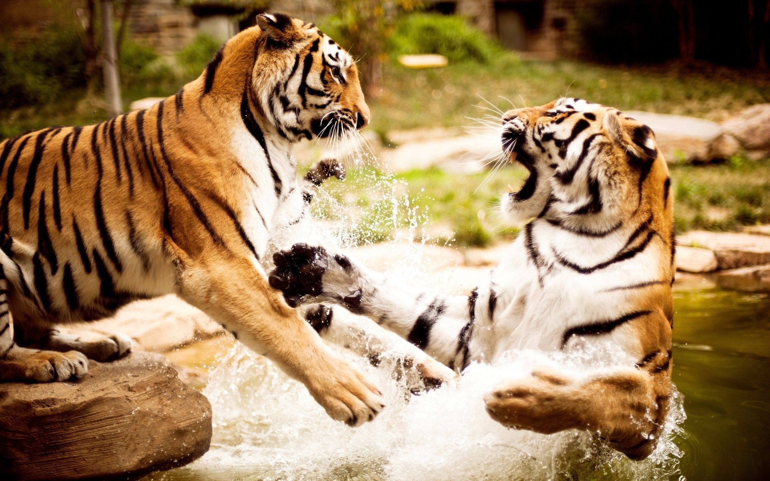 Tigers HD Wallpapers For Your Desktop