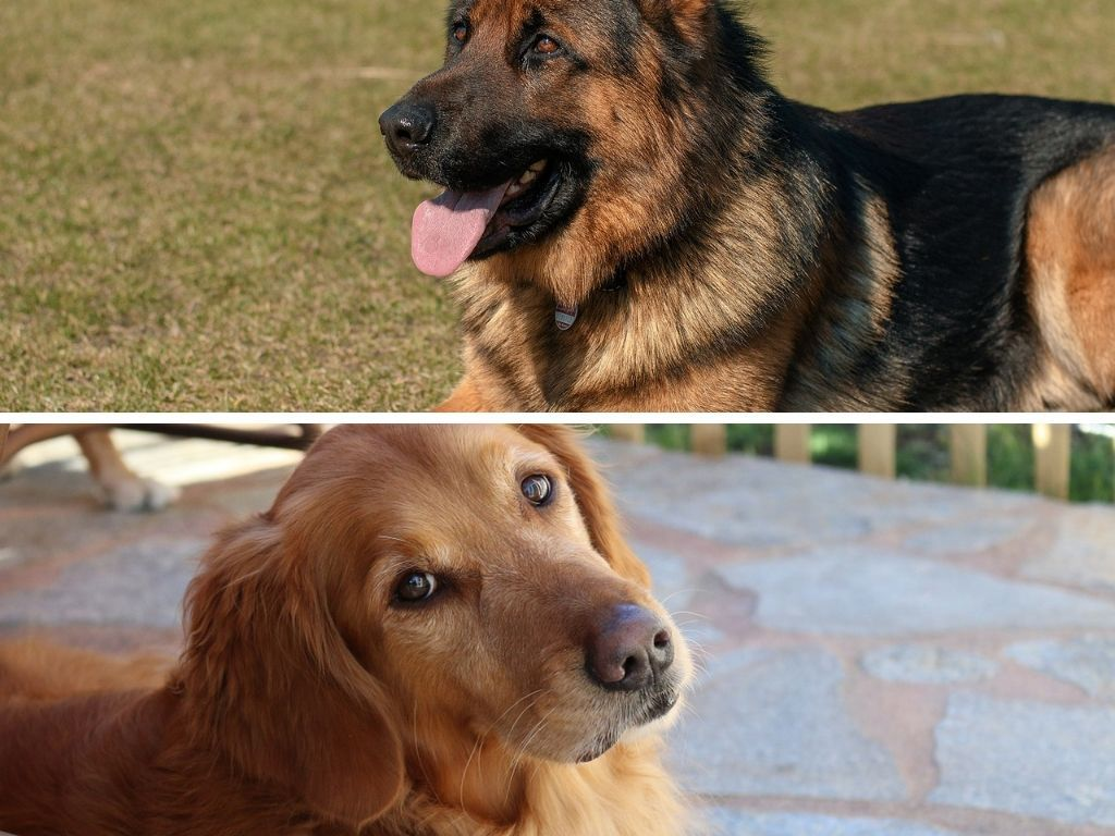 What To Know About A German Shepherd Golden Retriever Mix Golden