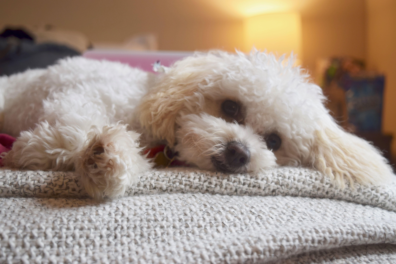 My Sweet Maltipoo Maltipoo Maltese Poodle Smalldog Dogs