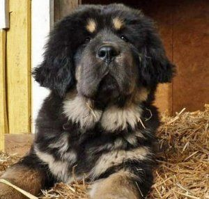 Newfoundland + Rottweiler = New Rottland | Precious Puppies