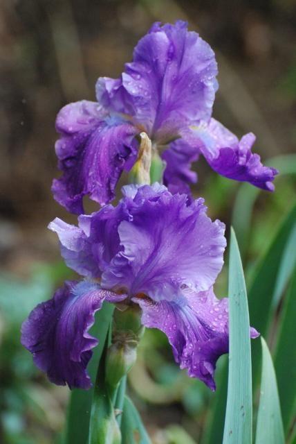Purple Iris Flower Photo Jpg Iris Flowers Purple Iris Iris Flower Pictures