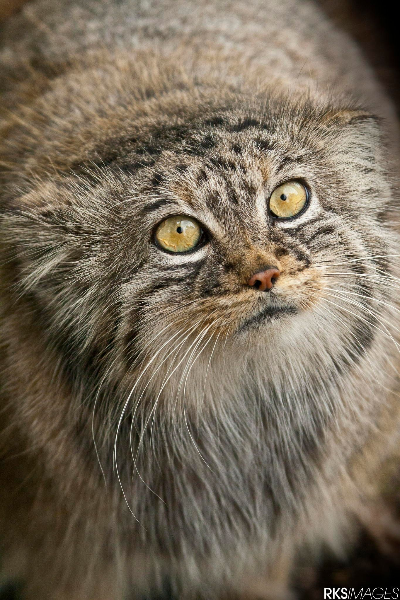 Soooo Fluffy The Awesome Pallas Cat With Images Rare Cats Pallas S Cat Cat Species