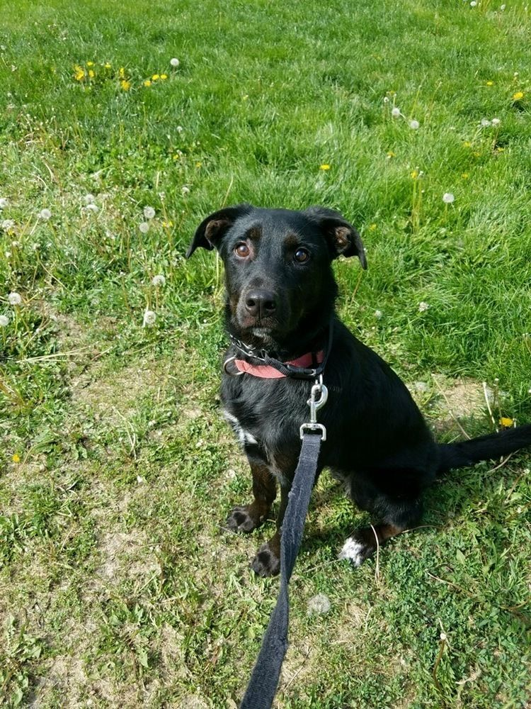 Adopt Willow (Fostered in Omaha) on Labrador retriever