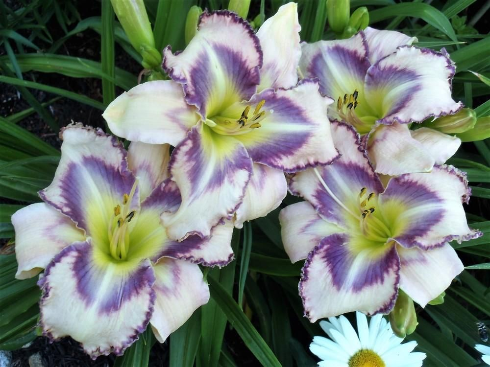 newsletter for November 9, 2019 Day lilies