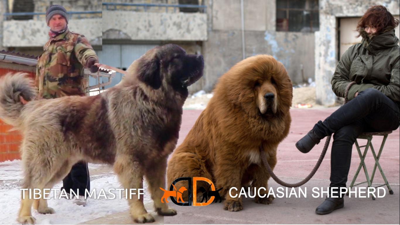 Tibetan Mastiff vs Caucasian Shepherd Mastiff puppies