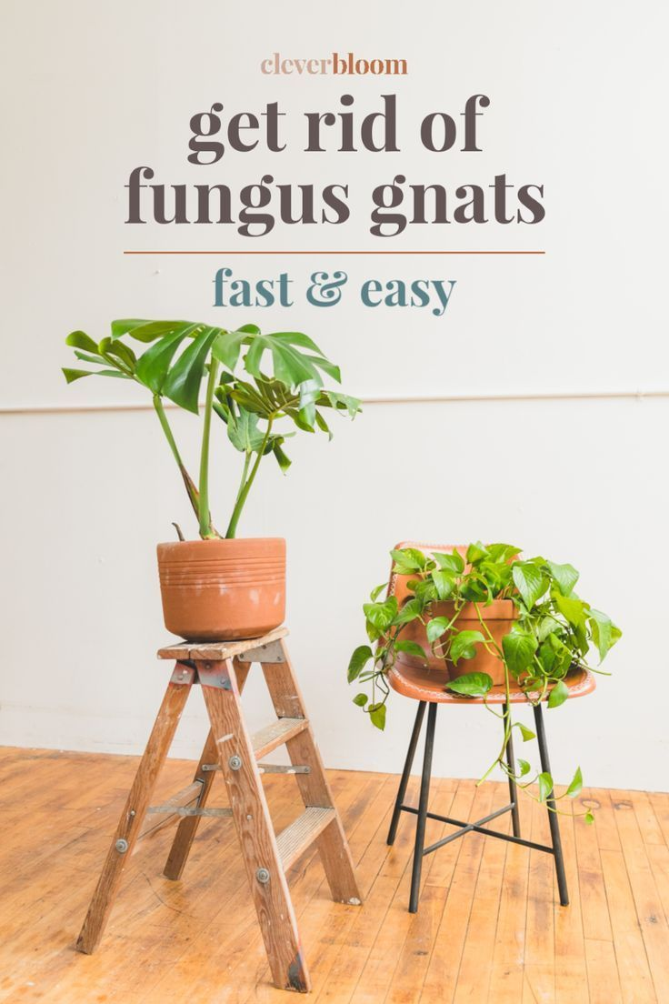 Get rid of fungus gnats plant pests lawn care tips fungi