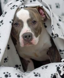Petfinder Adoptable Dog | Pit Bull Terrier | Powell, OH | Thelma