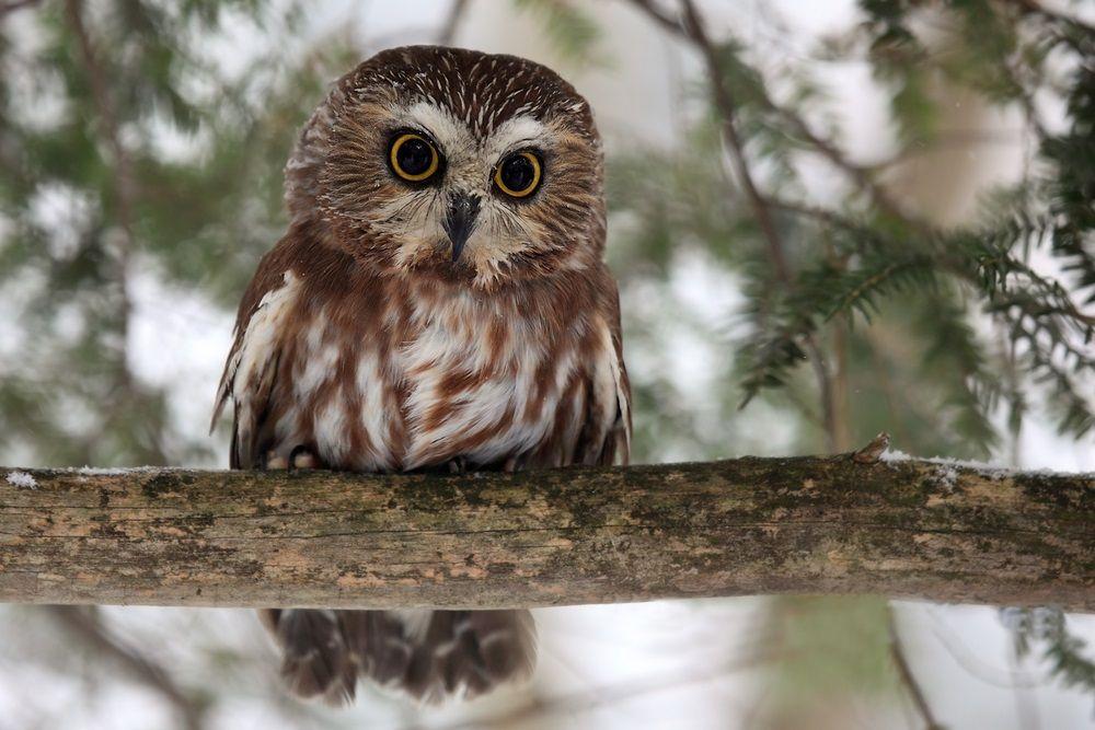 Tiny but fierce, the seveninchhigh sawwhet owl flies