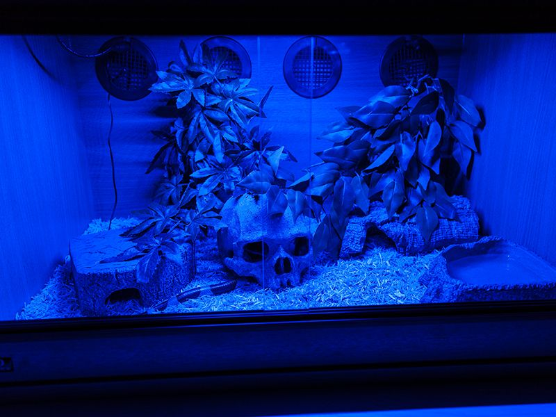 blue or red led night light reptile forums sneks pinterest night blue and forum. Black Bedroom Furniture Sets. Home Design Ideas