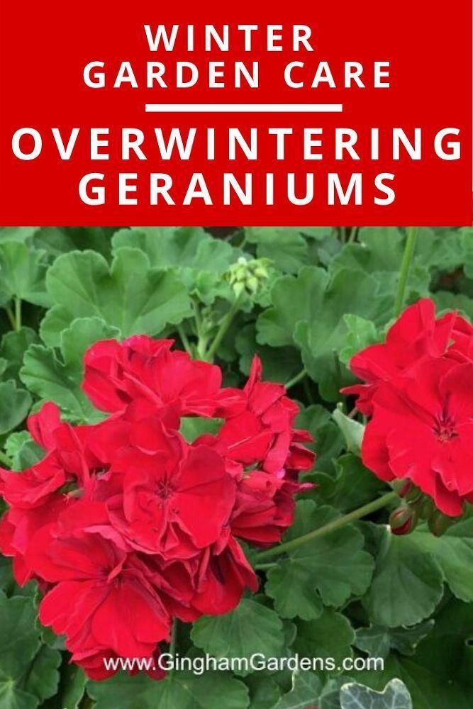 Geraniums #landscapingtips