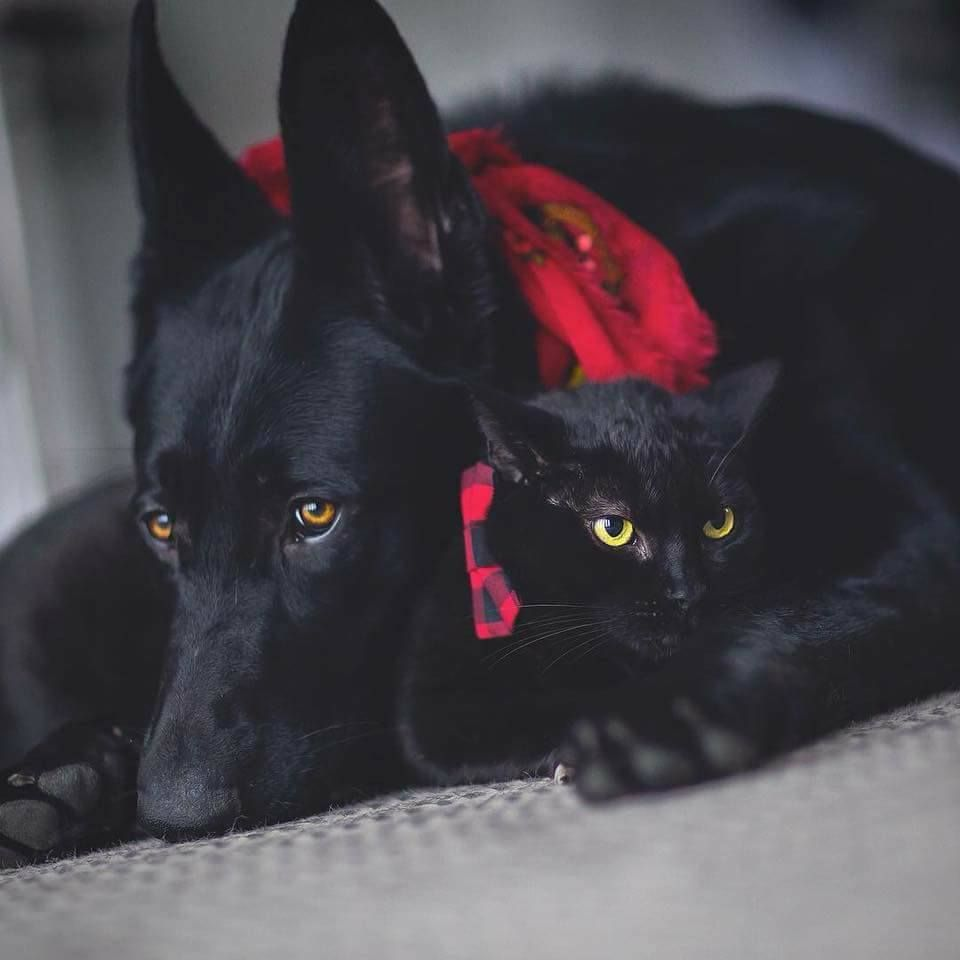 Meet Kingsley Gsd And Otis Cat Credit Blackwolfblackpanther