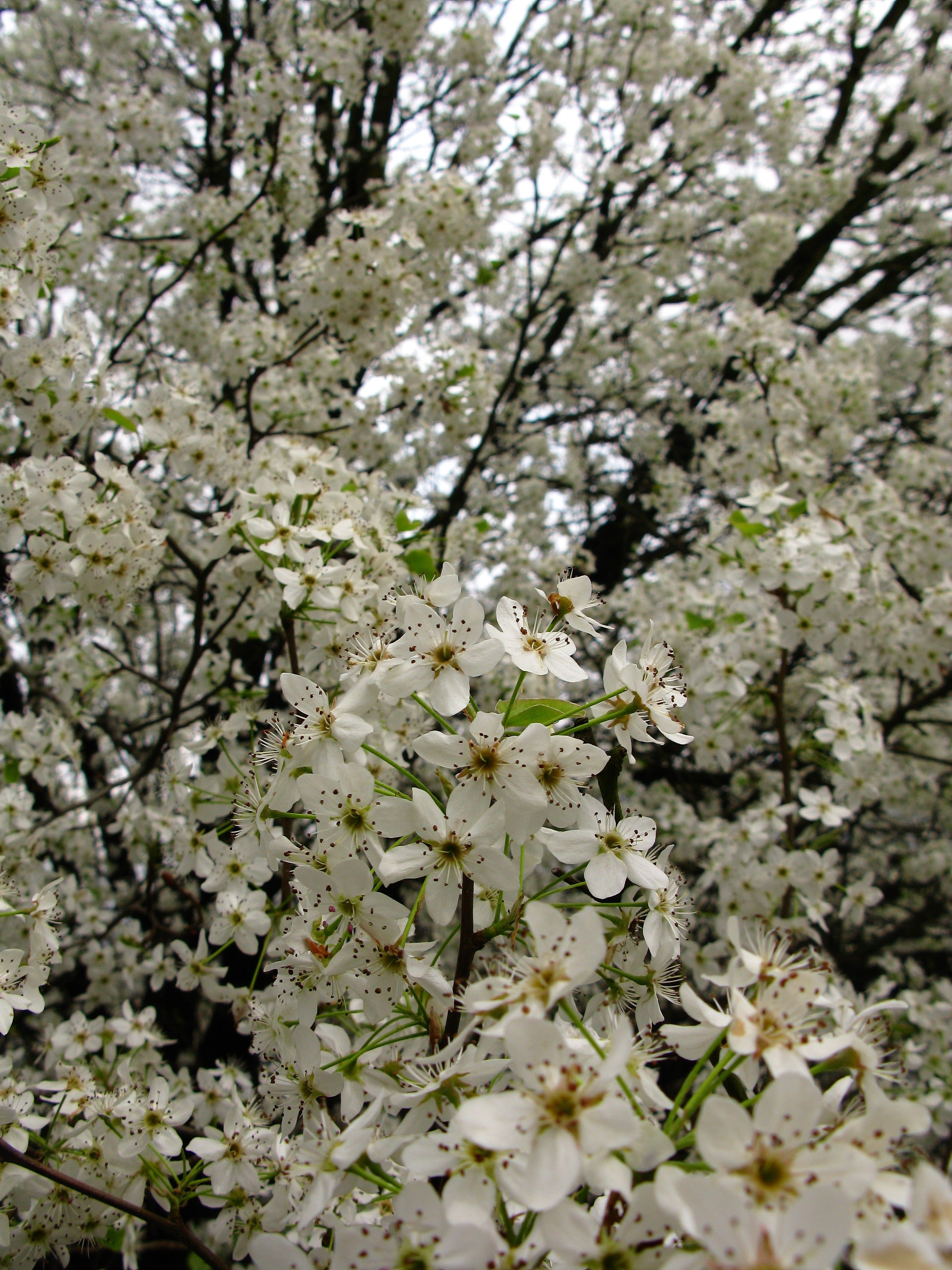 100 Tree With White Flowers That Smell Good Floralplants C