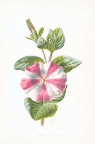 Pink and White Flower, the Striped Petunia