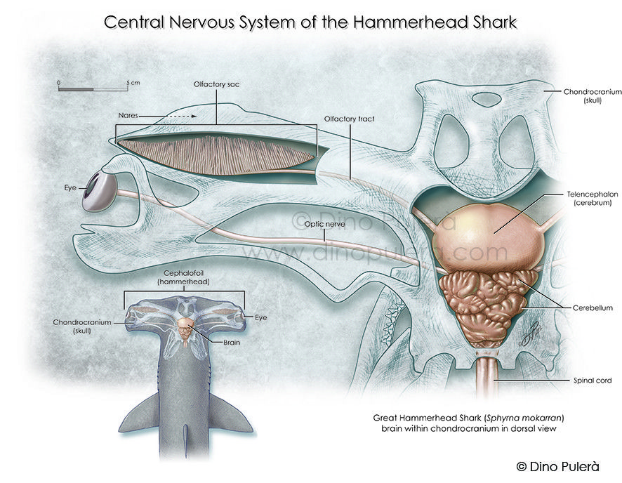 Image Result For Shark Anatomy Shark Week Pinterest Shark And
