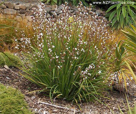 Nz Grasses For Landscaping Libertiagrandiflora plants yellow green pinterest native planting on a bank nz workwithnaturefo