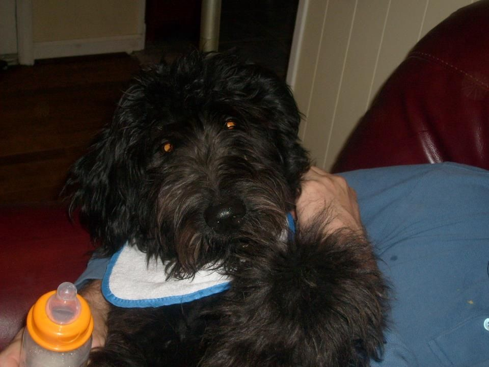 Cletus Our Giant Schnoodle In His First Halloween Costume As A