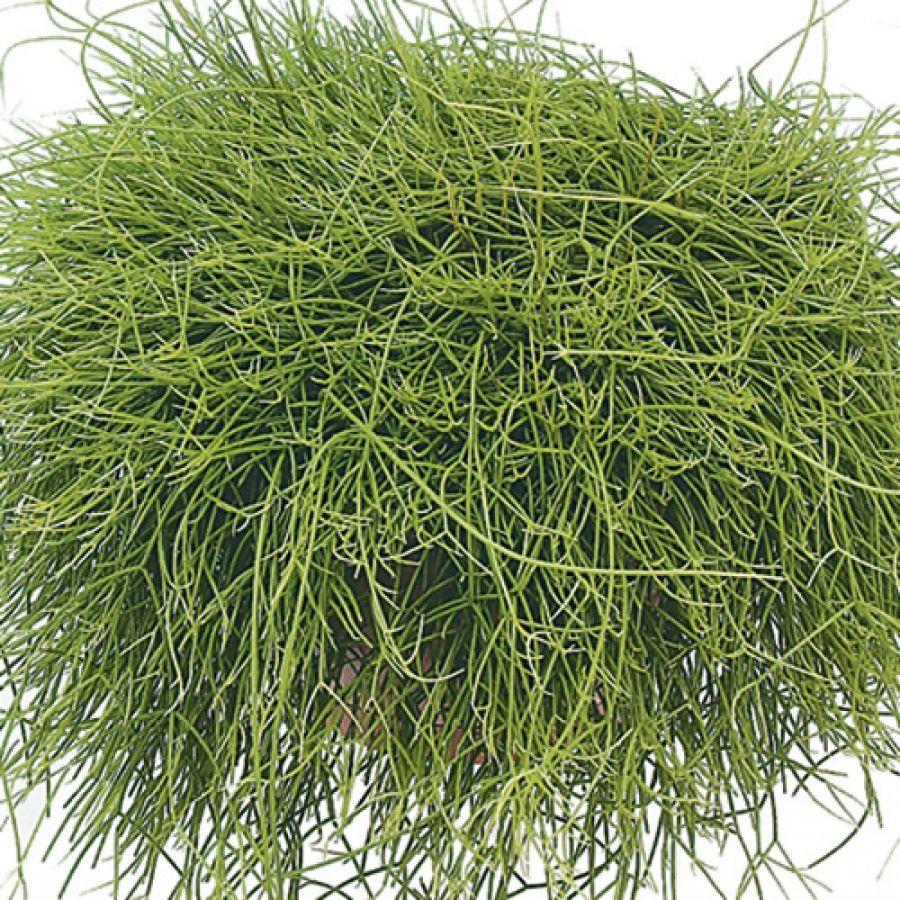 Buy rhipsalis capiliformis trailing plants gardening pinterest
