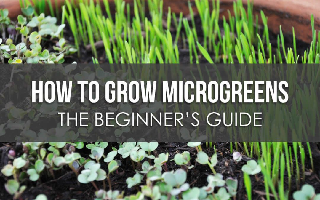 How to Grow Microgreens The Beginner's Guide Growing