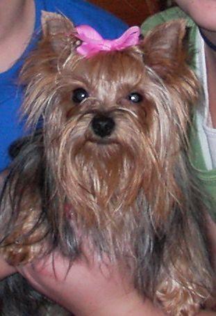 My Teacup Yorkie Lillie Belle Wearing A Pink Bow Yorkie Silky Terrier Yorkie Names