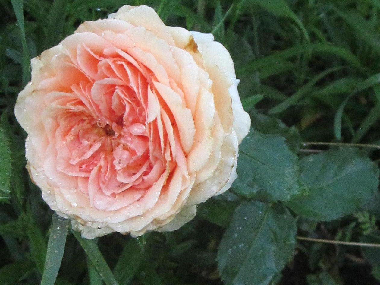 Роза чайно-гибридная гейша