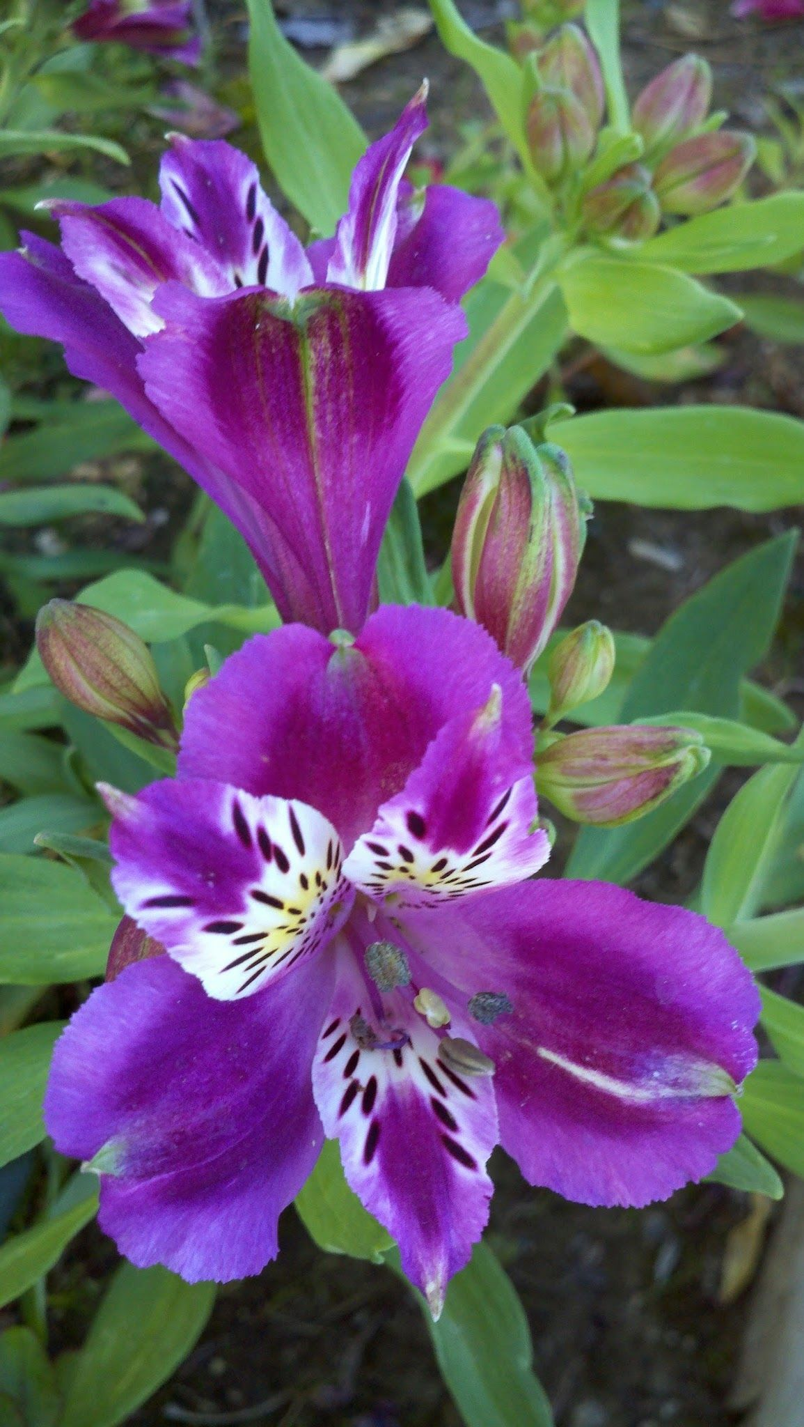how to grow peruvian lily