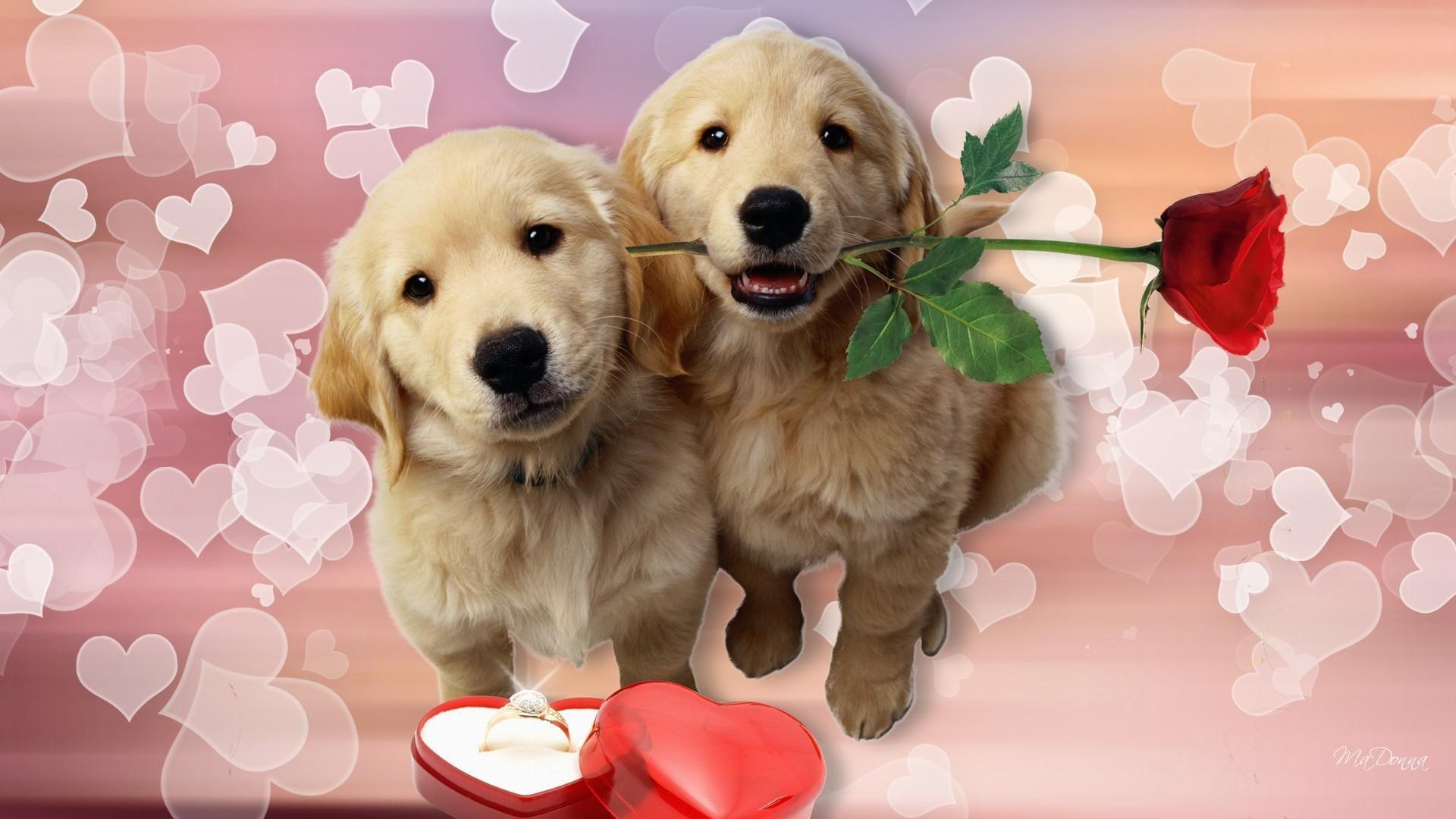 Puppy love White golden retriever puppy, Puppy wallpaper