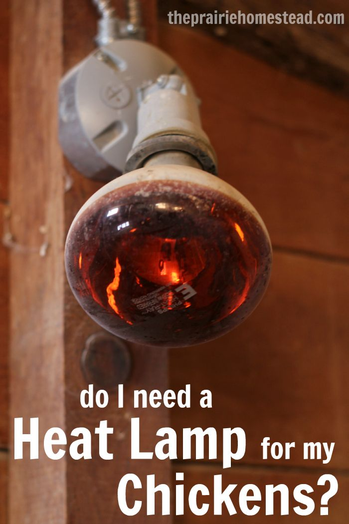 Do My Chickens Need A Heat Lamp Chickens Backyard Urban Chickens Best Egg Laying Chickens