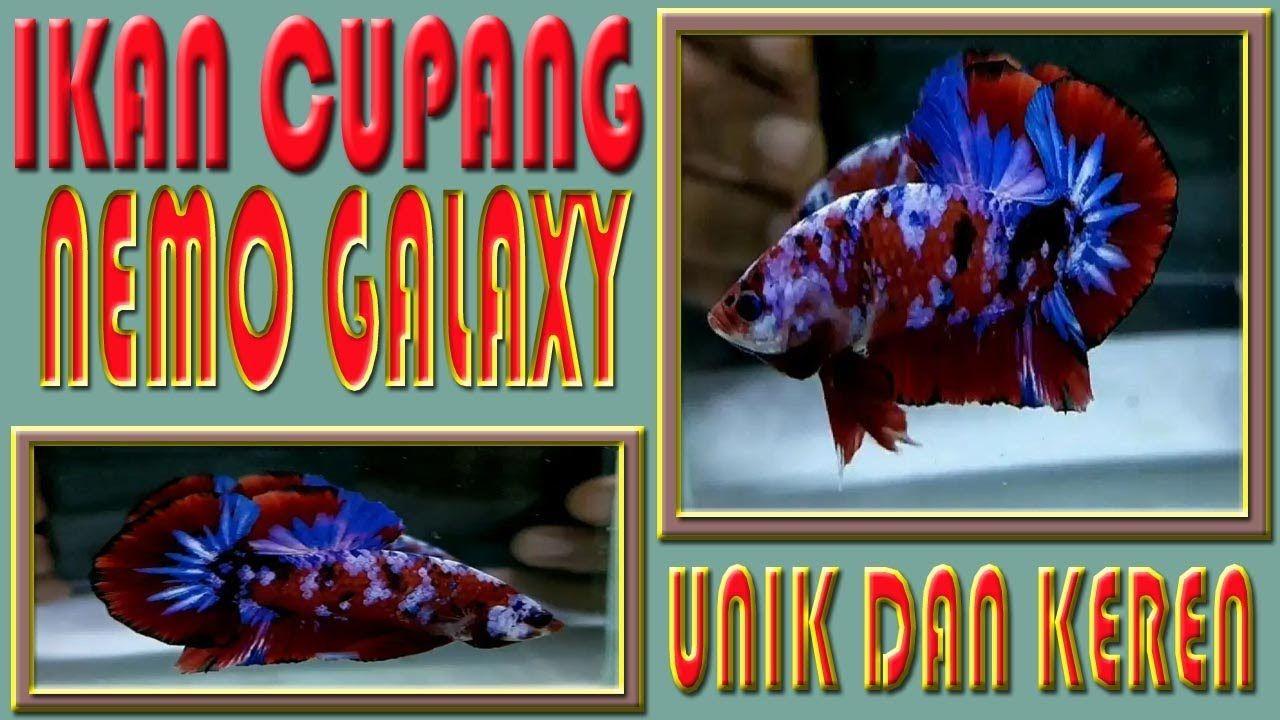 Ikan Cupang Nemo Galaxy Avatar Hellboy Koi Di 2020 Ikan Cupang