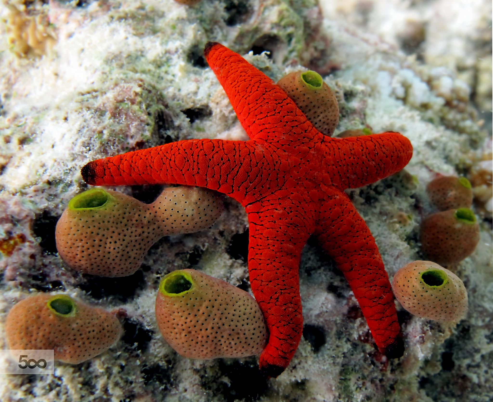 Red starfish by papa 74 on 500px aquarium fish for Red saltwater fish