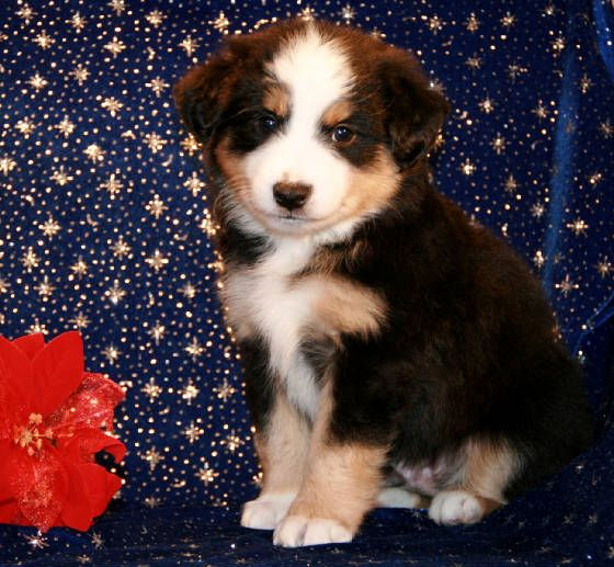 Bet Toy Mini Aussie Puppies For Sale In Me Md Ma Mi Mn Ms Mo