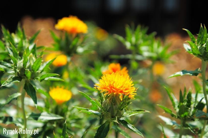 Krokosz Barwierski Zdjecie 1 Krokosz Barwierski Znany Jako Substytut Szafranu Poznaj Jego Zastosowanie Plants