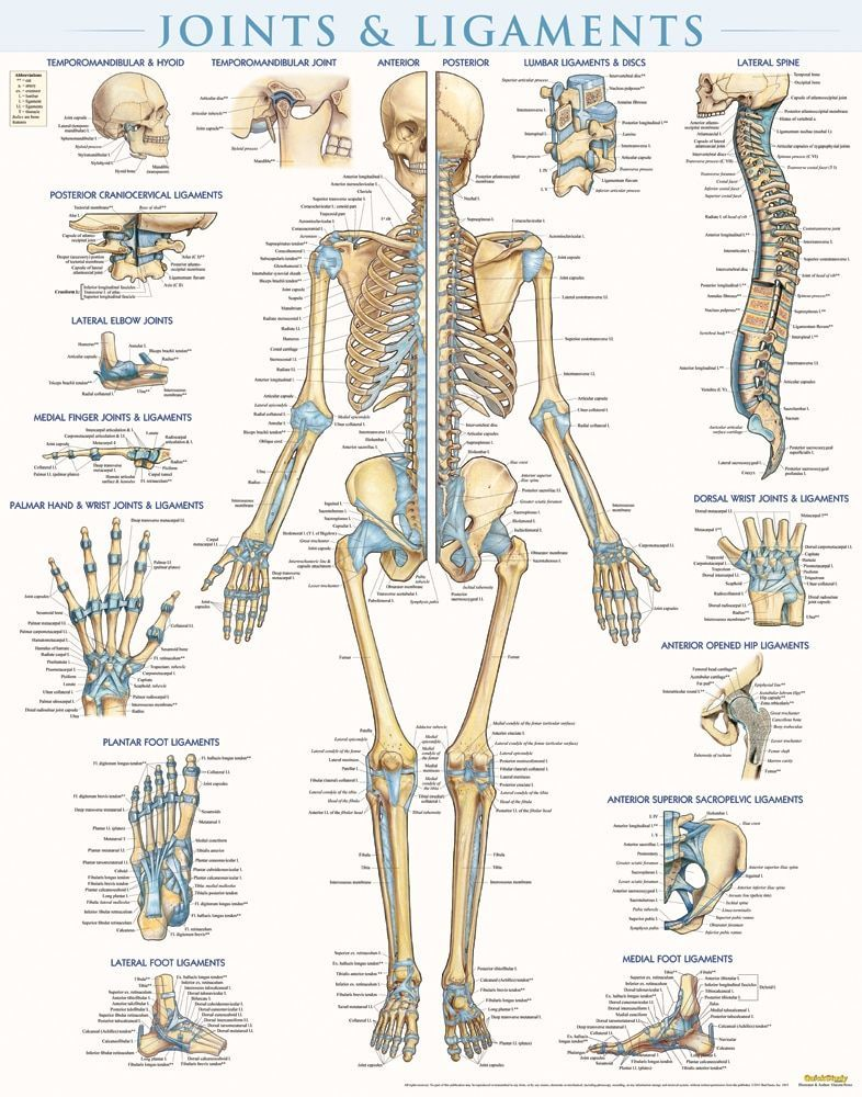 Ligaments Of The Joints Chart 20x26 Manual Guide