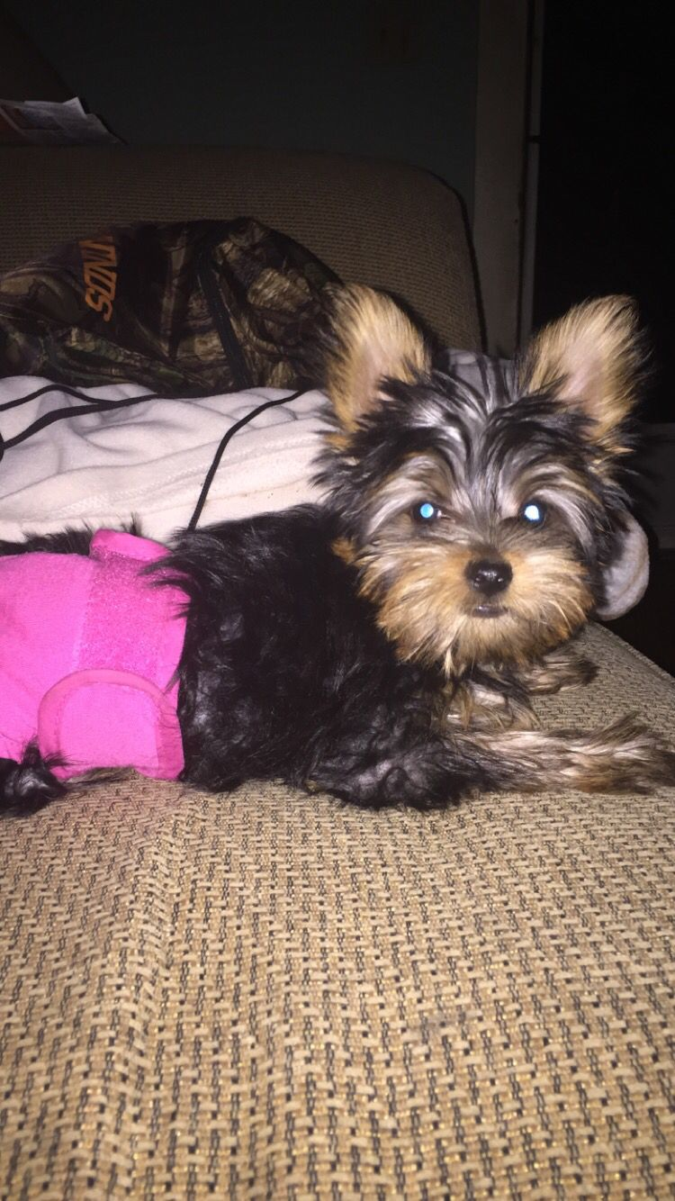 Yorkie Puppy Diaper Dogs Pinterest Yorkie Puppy Dogs And Puppies