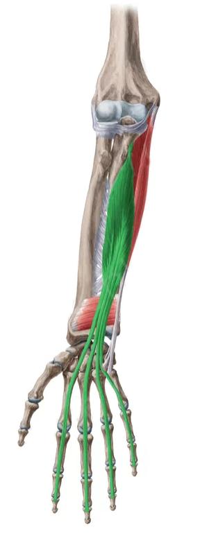Vista 2 Flexor Común Profundo De Los Dedos Sistema Muscular Humano Anatomía Humana Y Ejercicios Para Cuerpo Completo