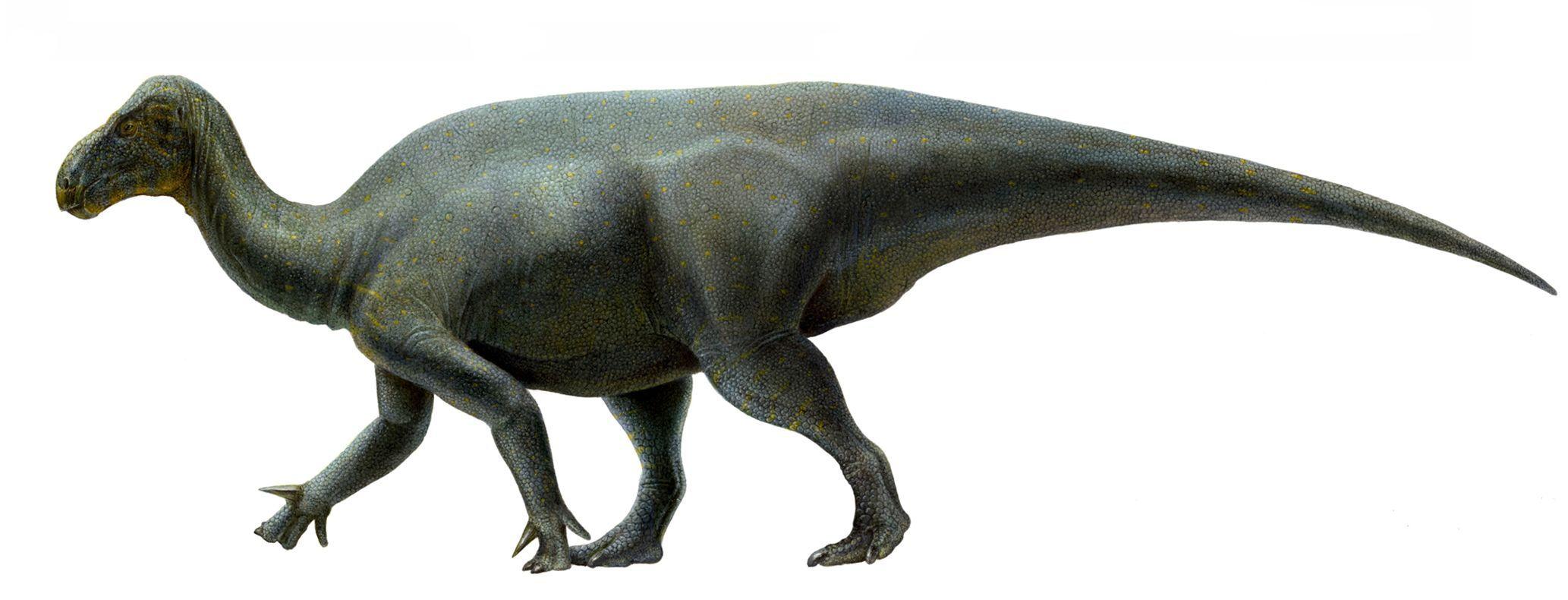 Iguanacolossus fortis. Dinosauria, Ornithischia, Ornithopoda, Styracosterna. Auteur : Lukas Panzarin, 2010.