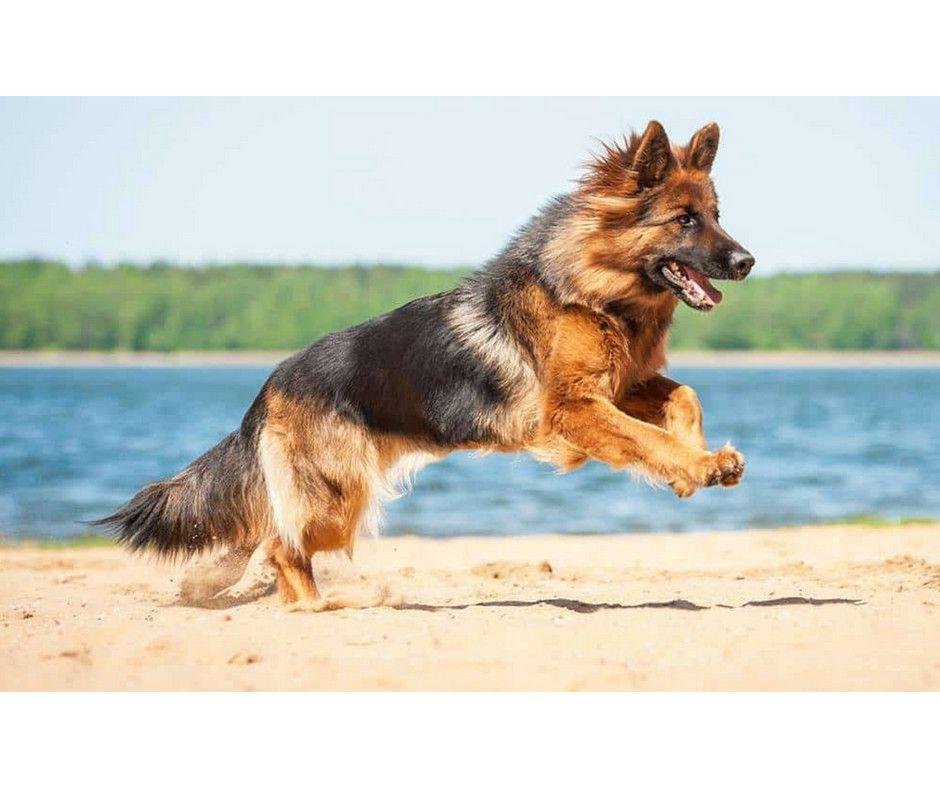 Mallorca Dog Massive Dogs Large Dog Breeds Mastiff Dogs