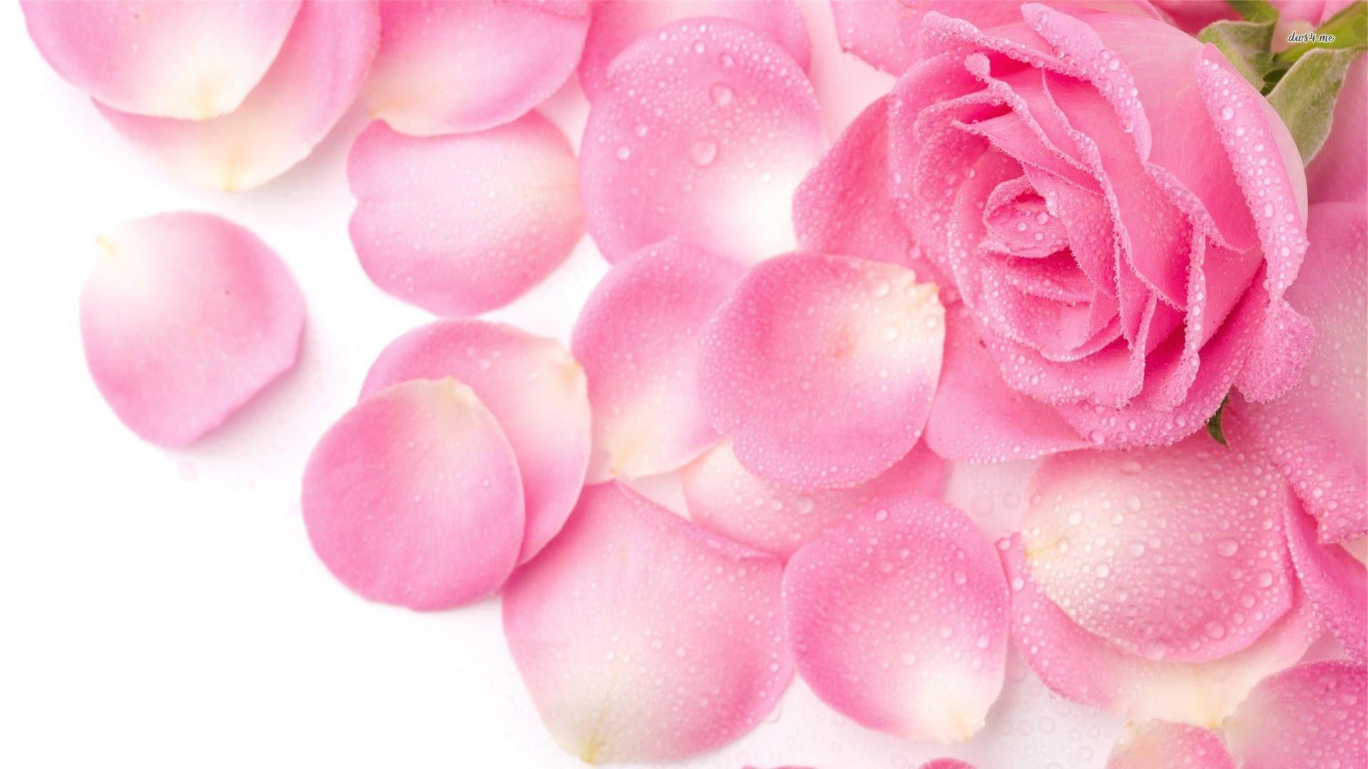 Pink Rose Wallpaper Widescreen for Background Wallpaper 1920x1080 px 199.47 KB