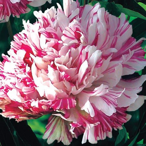"""Description for Kirinmaru Peony (Paeonia 'Kirinmaru') Slow to moderately growing herbaceous perennial; Full Sun to Partial Shade; 2-3 ft tall with a similar spread; Large, 5 - 7"""" ball-shaped, fluffy mildly-fragranced blooms of white, streaked with raspberry red, in mid to late spring for about 2-3 wks. These Japanese gems are perfect for borders, entryways and foundations, with mounds of glossy, deep green ornamental foliage throughout the season. Zones 3-9 Is adaptable to a wide range of…"""