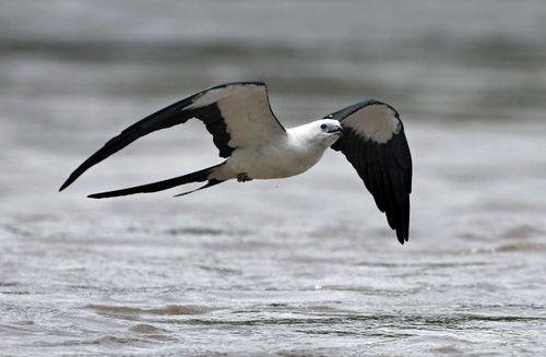 Swallow Tailed Kite Photo By Twearth Grand Isle Louisiana Louisiana Beaches Birds