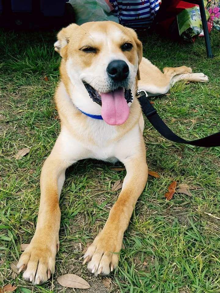 Adopt Marshal on Dog adoption, Labrador retriever