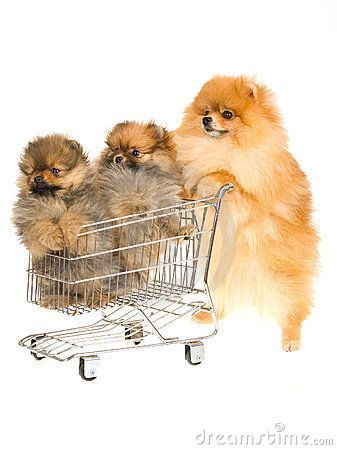Pomeranian With 2 Puppies In Mini Shop Cart Puppies Pomeranian Dog Cute Pomeranian
