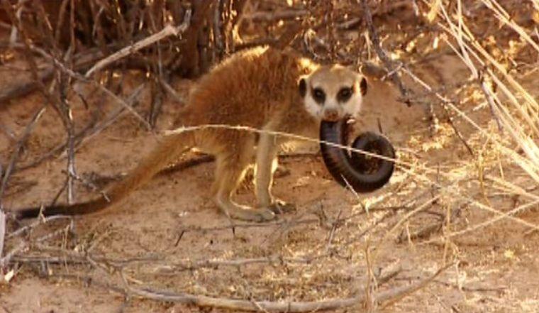 Meerkat diets