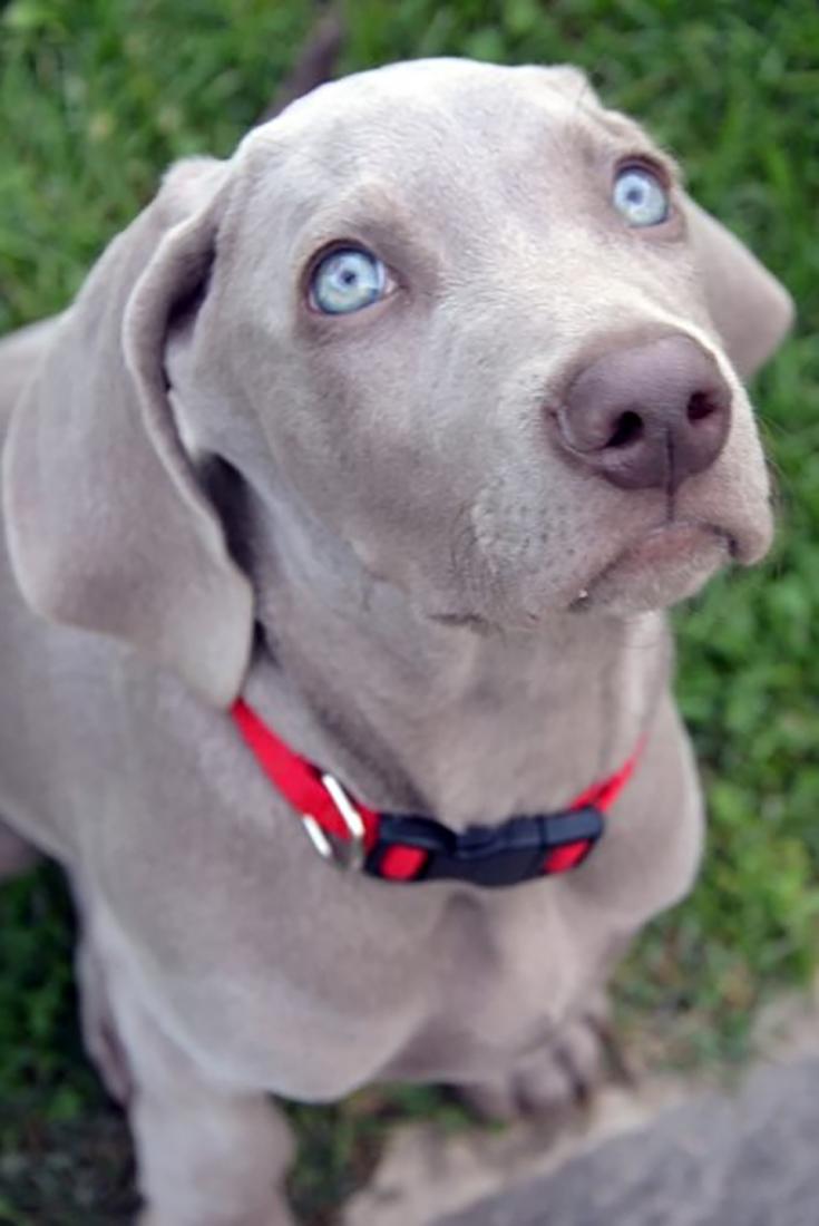 9 Stunningly Beautiful Blue Eyed Dogs Blue Eyed Dogs Adorableanimals Animals Cuteanimals Dog Doggie Doggy Love Pe Blue Eyed Dog Dogs Pitbull Puppies