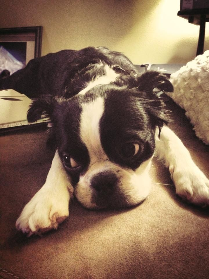 Oliver Rare Long Haired Boston Terrier Yes He S A Full Blooded Bt With Recessive Gene That Gives Him Hair Isn T Adorable