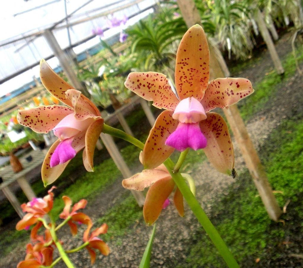 Orquídea Cattleya guttata bronze x self
