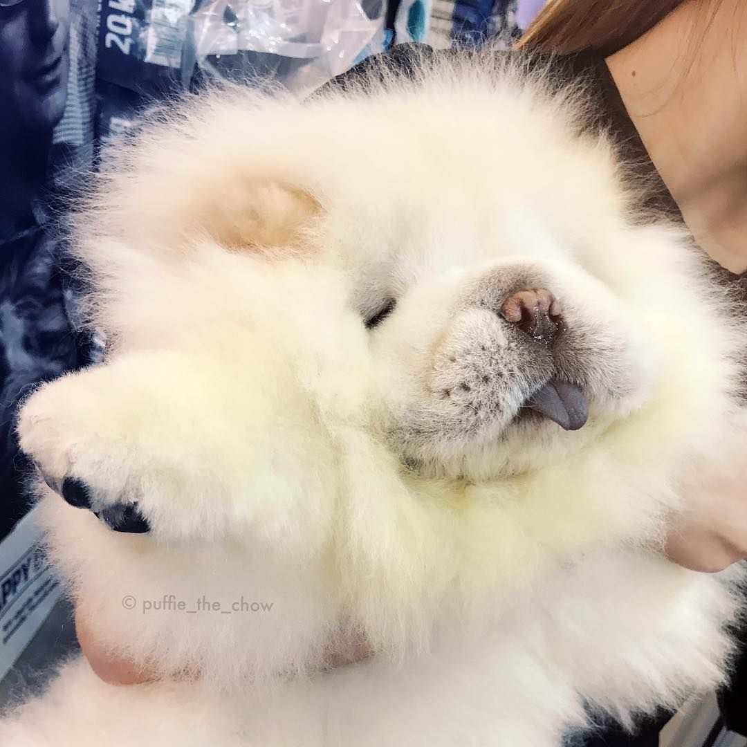 Puffie The Chow On Instagram Are You Mashimaro With Short Ears
