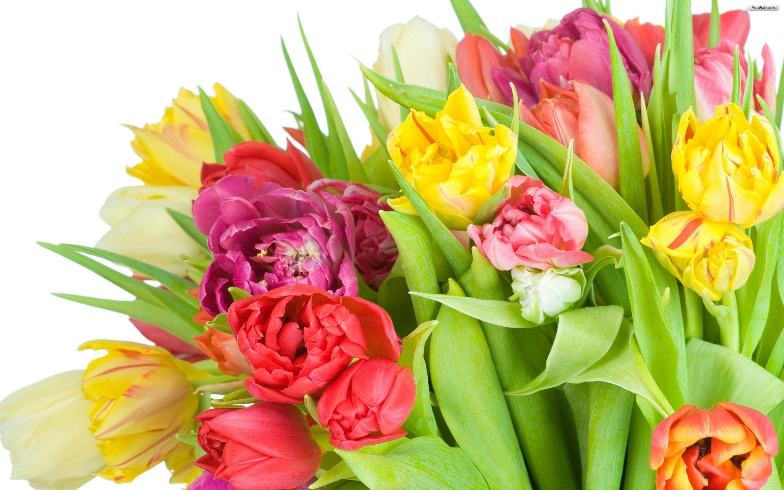 Tulip flowers hd wallpapers free download hd wallpapers tulip flowers hd wallpapers free download izmirmasajfo