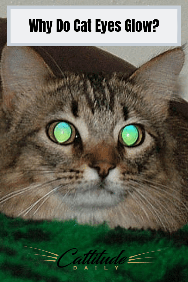Why Do Cat Eyes Glow? Cat behavior, Cat facts, Cats