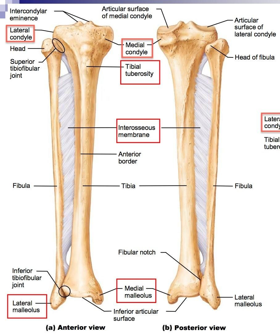 differences between the tibia and fibula - Google Search | study ...