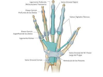 Fcm Unah Anatomía Macroscópica Vainas Sinoviales De Los Flexores Hand Anatomy Anatomy Anatomy And Physiology